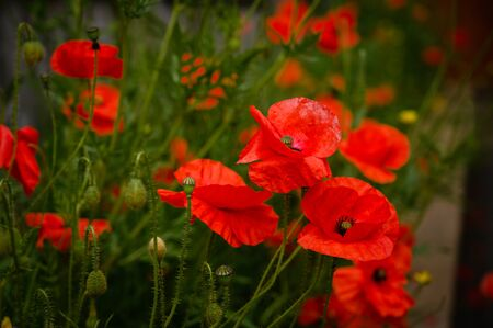 Red Poppies in Wildflower Garden, a popular delicate flower found in wildflower gardens in England 版權商用圖片