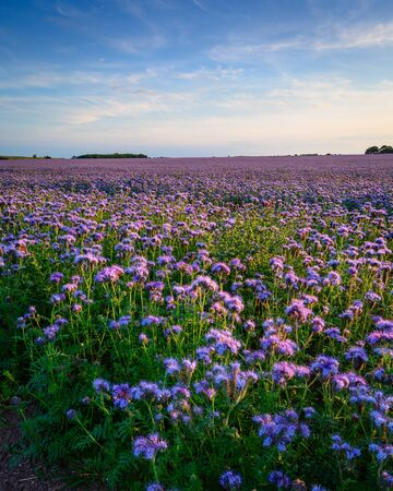 Field of Phacelia Crop in portrait mode, a quick growing green manure crop which attracts insects and bees, seen here near the Northumberland coastline
