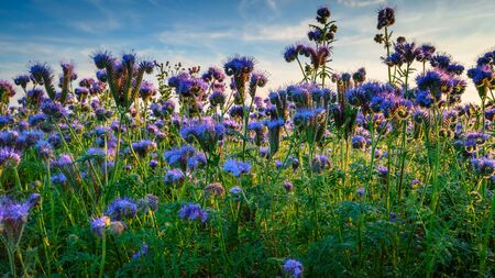 Low close-up view of Phacelia, a quick growing green manure crop which attracts insects and bees, seen here near the Northumberland coastline
