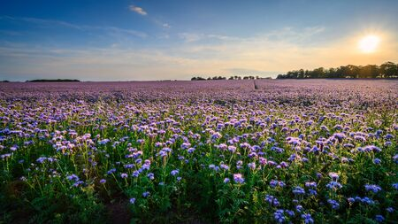 Field of Phacelia in Northumberland, a quick growing green manure crop which attracts insects and bees, seen here near the Northumberland coastline Stock fotó
