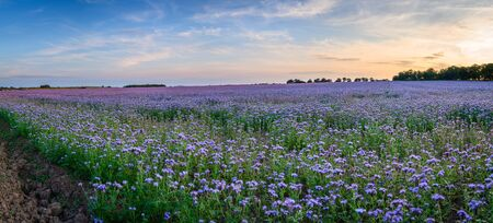 Panoramic Field of Phacelia, a quick growing green manure crop which attracts insects and bees, seen here near the Northumberland coastline Stock fotó