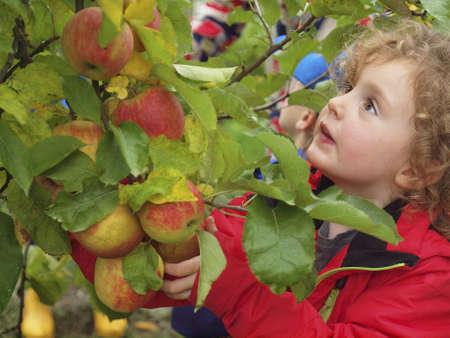Klein meisje plukt appels in een boomgaard