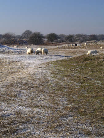 sheep grazing in a dune landscape in winter with frost photo