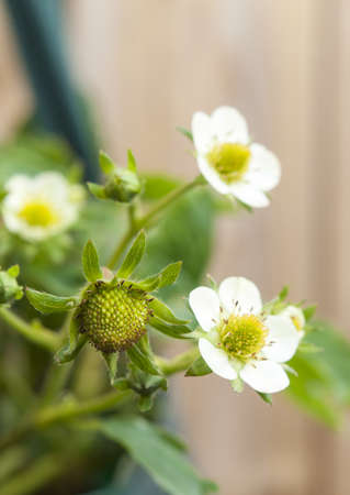 strawberry flowers and buds in closeup with garden fencing in background photo