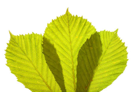 arrangment: arrangment of three fresh green spring horse chestnut leaves in closeup backlit with white background Stock Photo