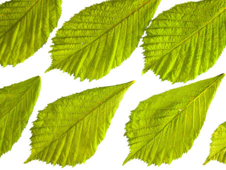arrangment: regular arrangment of fresh green spring horse chestnut leaves in closeup backlit with white background
