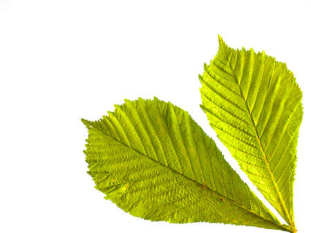 arrangment: arrangment of two fresh green spring horse chestnut leaves in closeup backlit with white background