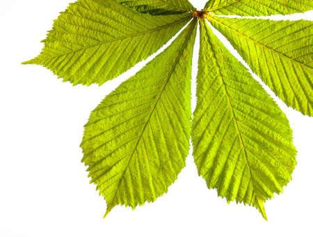 bunch of of fresh green spring horse chestnut leaves in closeup backlit with white background photo