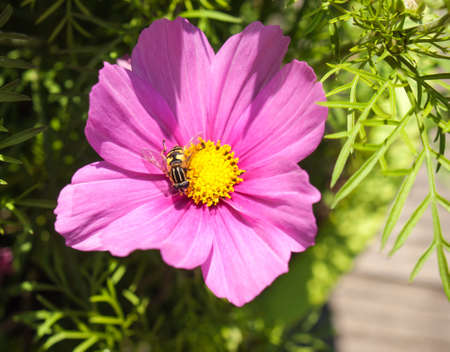 european hoverfly or sunfly on the stemen of a purple flower photo