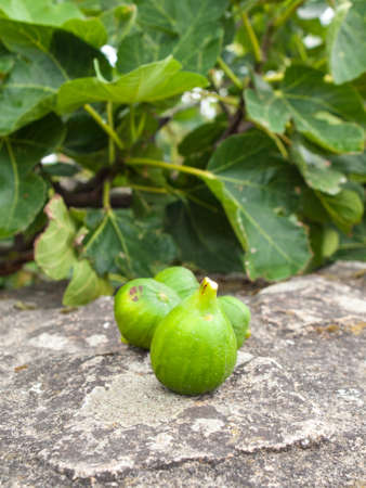 unripened: green figs on a stome wall with fig tree in soft focus behind Stock Photo