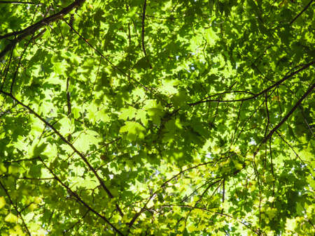 shaddow: bright green forrest canopy leaves viewed from below strongly backlit
