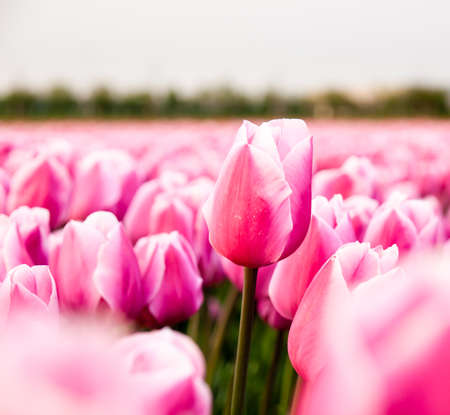 tulips: An individual unopened pink tulip in a tulip field