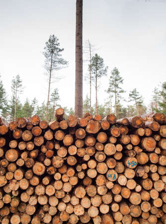 unsustainable: stack of cut felled logs with thinned out coniferous forrest behind Stock Photo