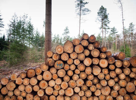 unsustainable: stack of freshly felled logs with forrest behind