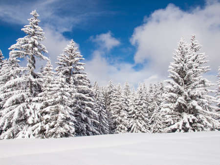 detail of snow covered conifer trees in a wooded winter landscape with blue skies