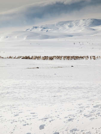 snow covered winter mountain  with reindeer in snow field in foreground photo