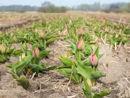 unopened: unopened tulips in a dutch bulb field in early spring Stock Photo