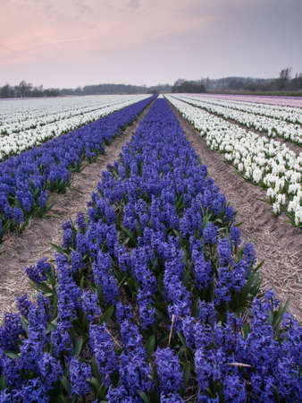 rows of purple and white hyacinths in a dutch bulb field in evening light photo