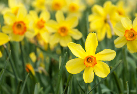 detail of  long stemmed yellow and orange trumpet daffodils in a daffodil field photo