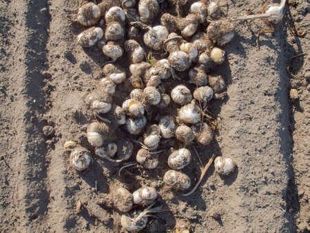 Sandy soil: bulbos de tulip�n cosechados tendido en el suelo de arena en un campo de tulipanes holandeses