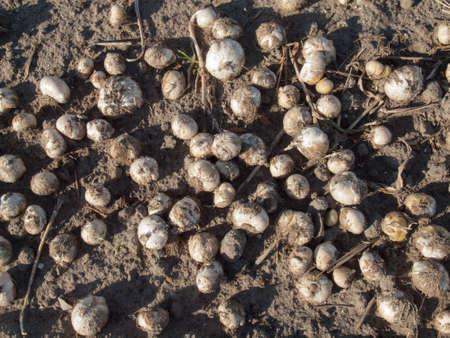 sandy soil: bulbi di tulipano raccolte che si trovano sul terreno sabbioso in un campo bulbo olandese