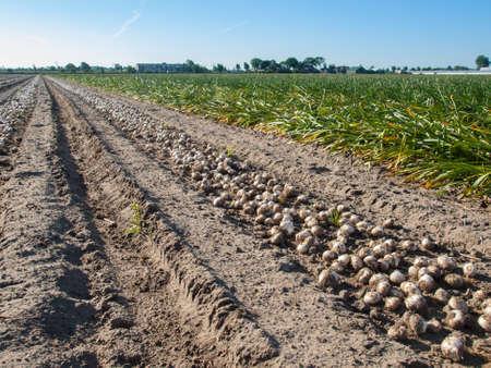 sandy soil: filari di bulbi di tulipano raccolte che si trovano sul terreno sabbioso in un campo bulbo olandese con narcisi dietro