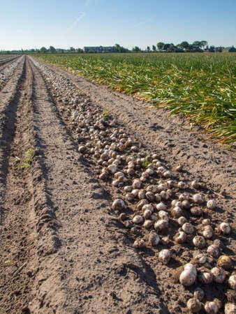 Sandy soil: filas de los bulbos de tulip�n cosechados tendido en el suelo arenoso en un campo de tulipanes holandeses con narcisos detr�s Foto de archivo