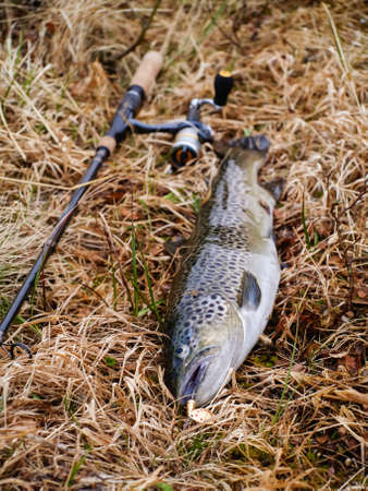 brown trout: large freshly caught brown trout on grass with rod and reel behind Stock Photo