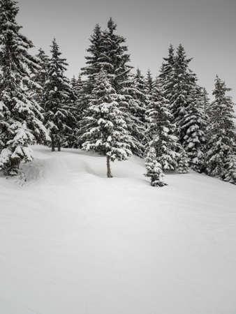 conifer trees in a snowy winter landscape in flat winter light with grey sky