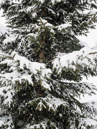 background of snow covered conifer branch with falling snowflakes