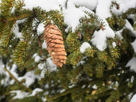 pine cones hanging in a conifer tree with snow covered branches