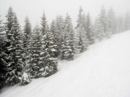 snow covered conifer trees on a misty mountainside