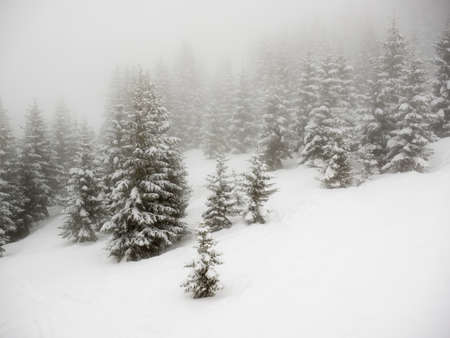 wintersport: snow covered conifer trees on a misty mountainside