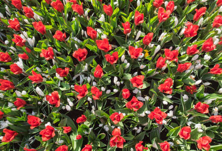 a mixed bed of red tulips and white crocus viewed from above Stock Photo