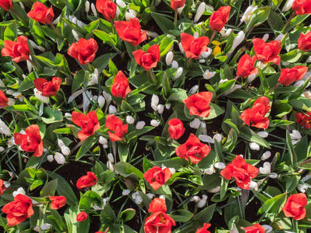 detail of a mixed bed of red tulips and white crocus viewed from above Stock Photo