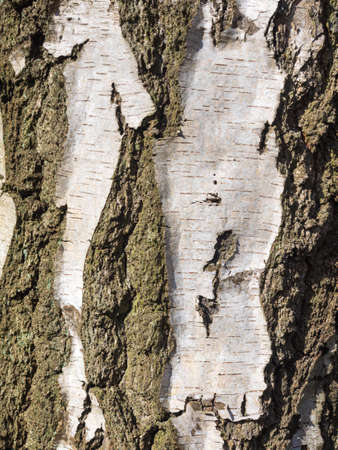 detail of silver tree bark for background