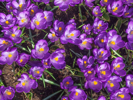 detail of bed of purple spring crocus viewed from above Stock Photo