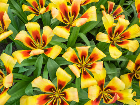 overhead view of bed of red and yellow show tulips Stock Photo
