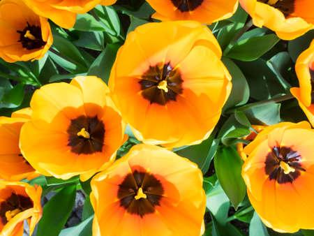 overhead closeup of orange show tulips Stock Photo