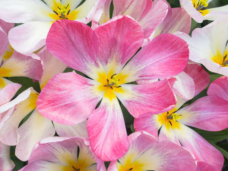 overhead closeup of bed of  pink show tulips Stock Photo