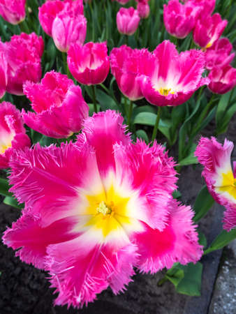 closeup  of  bed of  fancy white and pink show tulips Stock Photo