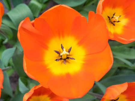 overhead closeup of orange and yellow show tulips
