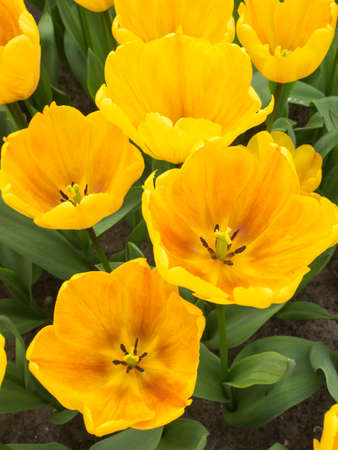 overhead of  bed of yellow show tulips