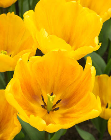 overhead closeup of  bed of yellow show tulips
