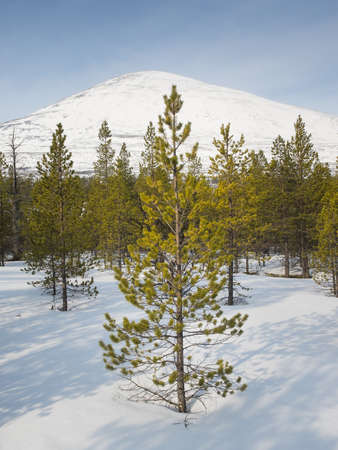 coniferous woodland in winter with snow and mountain top behind