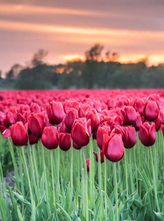 closeup of field of long stemmed red tulips in evening light with sunset behind Stock Photo