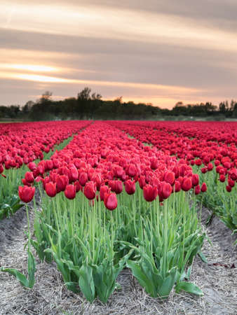 field of long stemmed red tulips in evening light with sunset behind Stock Photo