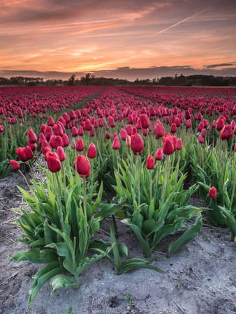 equinox: field of  red tulips in evening light with sunset behind