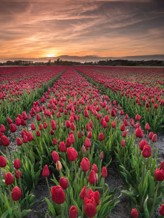 field of  red tulips in evening light with sunset behind