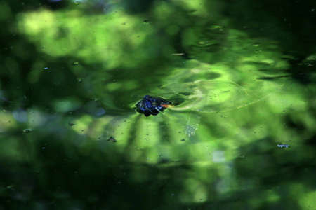 A red-eared slider turtle in a garden pond in a Japanese garden. Stock Photo